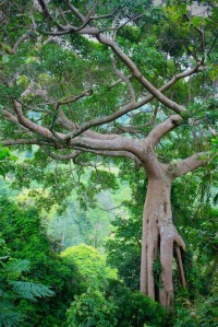 remarkable fig tree kep national park