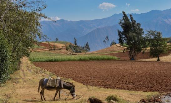 Donkey Grazing in Hualcayan Peru