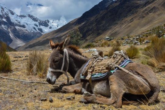 Donkey in Peru Cordillera Blanca